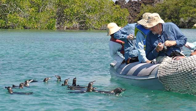galapagos penguin bartholomew island tourist